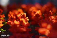 DSC_0098 (Fluffphoto) Tags: flowers sunset sunlight golden lowes