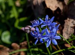 Zweiblttriger Blaustern (joergpeterjunk) Tags: outdoor pflanze blume blte scillabifolia tamronspaf90mmf28dimacro11 canoneos50d zweiblttrigerblaustern