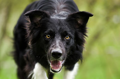 the look (mimusha) Tags: dog smile spring eyes collie sheepdog canine bordercollie theeye iman