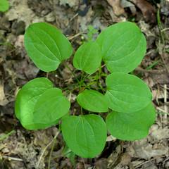 Smilax herbacea (Eric Hunt.) Tags: smilax carrionflower smilacaceae smilaxherbacea