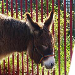 Ezeltje Explore 20160428 (Olga and Peter) Tags: ezel donkey kinderboerderij childrensfarm roelsbeestenboel fp1110095