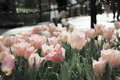 (Chen.Claire) Tags: nyc pink flower green spring washingtonpark