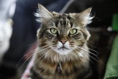 Katze_2 (tara-celin) Tags: eye look animal cat katze nase tier
