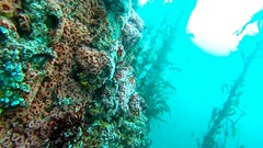 Coral (lizbarhamphotography) Tags: ocean california sea fish sports nature water sport coral forest swim monterey underwater pacific outdoor dive bubbles scuba diving s pacificocean kelp scubadiving diver watersports reef scubadive activities kelpforest foresty scubadiver gopro