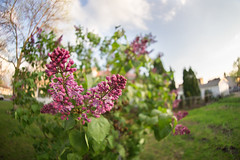 Spring fling (JakobKeith) Tags: bush bokeh sony fisheye lilac 12mm alpha f28 a7ii samyang bokehlicious rokinon