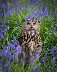 Ethel, European Eagle Owl (susie2778) Tags: bluebells nikon european cap owl bwc captive bubobubo eage sigma105macro britishwildlifecentre d7100