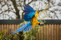 Blue and Yellow Macaw in Flight (KevinChallis) Tags: blue bird beautiful yellow nikon flight parrot 200 d750 macaw 70 70200 birdinflight 70200f4 nikon70200 70200nikon parrotinflight iamnikon nikon70200f4 nikond750