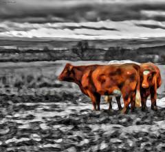 Country Cows (Billy McDonald) Tags: park cows glasgow country selectivecolour mugdockcountrypark fractalius