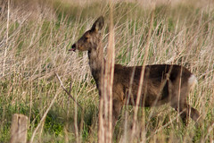 No need for that (PINNACLE PHOTO LOG) Tags: wild tongue fur countryside spring woking eyes meadow shy british billard roedeer capreoluscapreolus