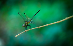 Ready to dragonfly (Xxtranyer Photography) Tags: trip light shadow black blur macro green nature grass animal forest insect outside photography wings nikon branch photographer natural legs live cuba pinardelrio lospalacios dragonflay nikond5300 xxtranyerphotography nikor18140mm yoandymxxtranyerrobainafuentes xxtranyerphgmailcom