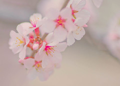 Softly Spring (~DGH~) Tags: pink flowers canada macro spring blossoms alberta april l cherryblossoms 2016 edmonon smcpentaxdfamacro100mmf28 ~dgh~ pentaxk50