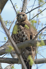 Red-Tailed Hawk (Le Monsieur de le Coin Bureau) Tags: bird nature newjersey hawk wildlife wayne nj redtailedhawk
