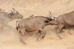 SJ7_3882 (glidergoth) Tags: park south safari national zambia waterbuffalo luangwa mfuwe bubalusbubalis