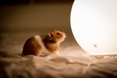Big Ham and the lamp (becka2909) Tags: pet animals canon 50mm lowlight bokeh hamster sirianhamster