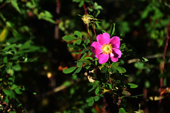 Autumn Alberta Rose (pokoroto) Tags: autumn canada calgary rose october alberta 10 2015     kannazuki   themonthwhentherearenogods 27