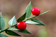 Buon Feste _ Happy Holidays (MaOrI1563) Tags: italy verde florence italia tuscany firenze toscana rosso bosco bacca scandicci sempreverde ruscusaculeatus pungitopo maori1563