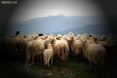 BEEEH (SergioLoi) Tags: sardegna italy italia sardinia inverno animali pecore barbagia gregge esterzili