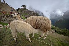 Machu Picchu (oeyvind) Tags: peru cuzco cusco perú machupicchu per lamaglama xt1 machupikchu xf1024mmf4