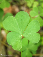 Charmed (REA // Photography) Tags: summer plants charm luck lucky clover charmed plantlife