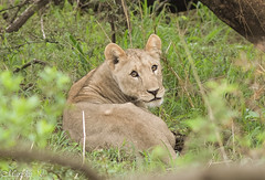 Lioness (marieke_vis) Tags: africa animal south lion lioness carnivore pilansberg