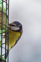 Blmeis (Eirik Yven) Tags: flickr natur fugler blmeis