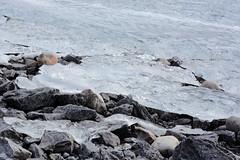 DSC_2056 (immcquillan) Tags: blue winter sky white mountain lake black mountains water car stone grey nikon rocks jeep teal cyan goat bubbles abraham alberta skate vehicle gravel methane d7100