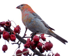 Eyeing the crop (diffuse) Tags: male bird backyard crabapple pinegrosbeak 16feb13