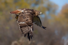 Red tailed hawk (Phiddy1) Tags: ontario canada birds hawk crc redtailedhawk