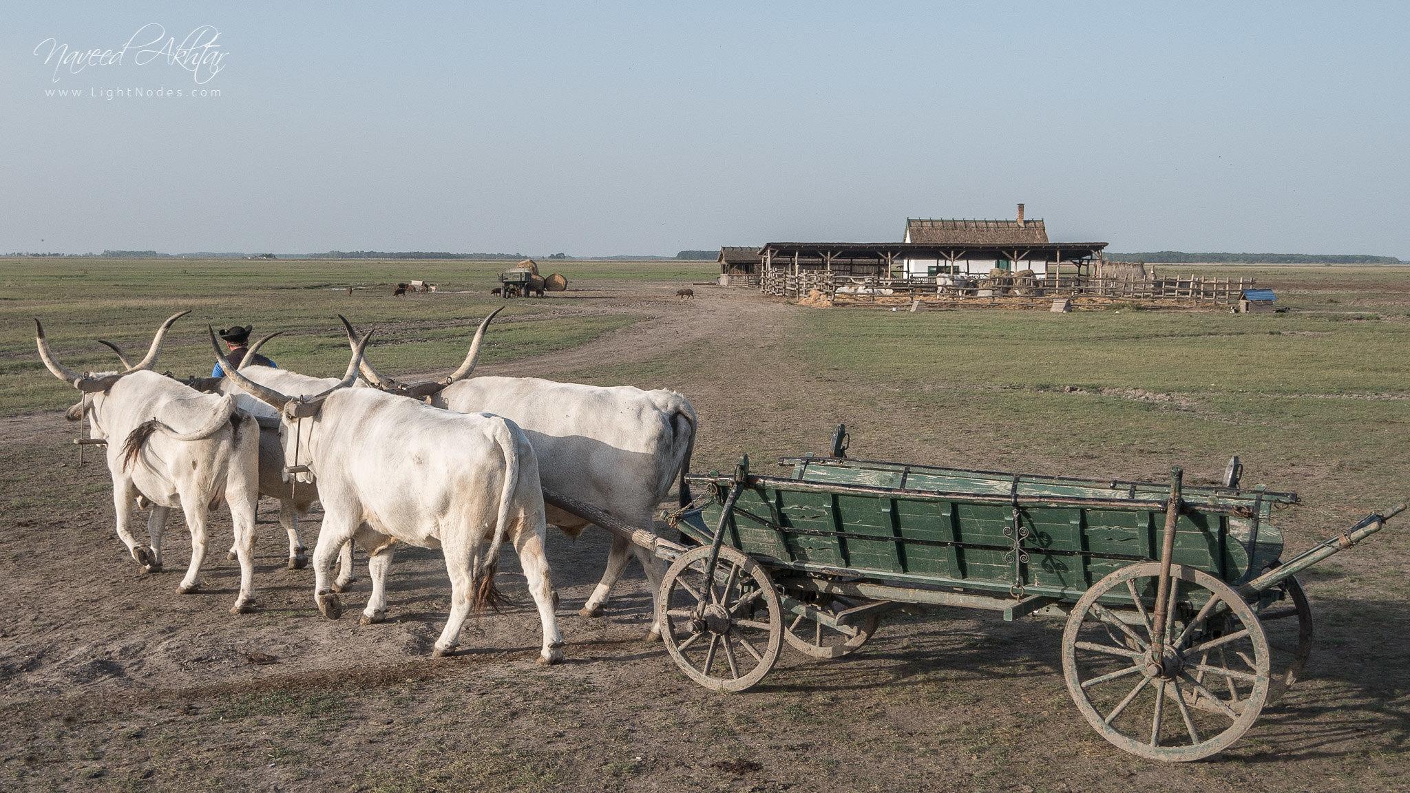 Going back to home. Hungarian countryside near Hortobagy in Hortobágy, Hajdú-Bihar, Hungary with Panasonic DMC-GX7