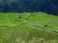 Rice fieds (Py All) Tags: nepal mountain green nature field montagne trekking trek outside asia rice vert asie himalaya ricefield pokhara extrieur annapurna npal randonne ghandruk rizire