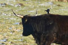 Synergie durch Putzervogel - 013-2016_Web (berni.radke) Tags: bird rind magpie synergy vogel münsterland stever synergie elster olfen heckrind heckcattle steveraue putzervogel