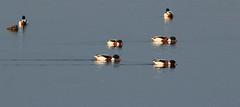 Shovelling Shellducks, North Cave Wetlands (robin denton) Tags: nature water birds wildlife ducks tuftedduck wildlifetrust yorkshirewildlifetrust shellduck northcavewetlands
