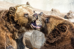 Brotherly Love (John Greg Jr) Tags: ohio usa animals zoo unitedstates cleveland mammals carnivores grizzlybear clevelandmetroparkszoo camera:make=nikoncorporation exif:make=nikoncorporation exif:aperture=80 camera:model=nikond7100 exif:model=nikond7100 exif:lens=1803000mmf3556 exif:isospeed=1000 exif:focallength=270mm