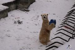 Eisbr Fiete im Zoo Rostock 23.01.2016  016 (Fruehlingsstern) Tags: vienna zoo polarbear vilma eisbr erdmnnchen fiete zoorostock geparden baumknguru canoneos750 tamron16300