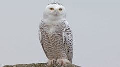 Snowy Owl... (photosauraus rex) Tags: canada bird vancouver bc outdoor owl bubo snowyowl whiteowl buboscandiacus scandiacus greatwhiteowl greatowl nonzoo nonraptorshow nonbaited