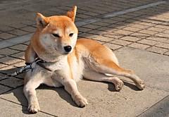 P2121421 (eriko_jpn) Tags: dog momo shibainu japanesedog