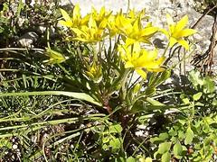 Gagea peduncularis 3 (heinvanwinkel) Tags: 2009 februari phaselis liliaceae liliales magnoliidae stervanbethlehem spermatophyta tracheophyta gageapeduncularis lilianae euphyllophyta lilioideae bloemvandedag liliineae gageeae