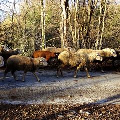 la pecora nera (archifra -francesco de vincenzi-) Tags: black sheep mouton oveja gregge theblacksheep vello transumanza lemoutonnoir archifraisernia francescodevincenzi