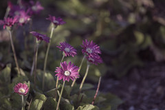 I will touch a hundred flowers and not pick one... (YuccaYellow) Tags: flowers flower nature beautiful dof purple bokeh deep