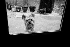 Beware of Dog (Eck-tor) Tags: dog yorkie canon blackwhite canine terrier