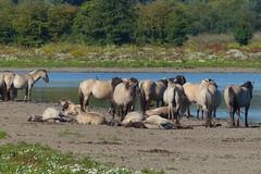20150809-konikpaarden_Oostvaardersveld (Edwin Pijpers) Tags: natuur landschap oostvaardersplassen konikpaarden