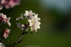 Sony FE 70-200G F4 (dj murdok photos) Tags: flowers bokeh sony naturallight depthoffield cherryblossom sakura fe alpha f4 balboalake a7ii 70200g djmurdokphotos