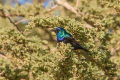 Palestine Sunbird (katyarud) Tags: birds israel  passeriformes   nectariniidae palestinesunbird nectariniaosea
