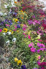 February Flowers in Tucson (cobalt123) Tags: flowers arizona canon garden tucson firstphotos pansies petunias impatiens age11 2016 anavey westwardlook tucsonrockandgemshow xti canonrebelxti anaveybolender