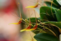 1/Restrepia sp. (nobuflickr) Tags: orchid flower nature japan kyoto    thekyotobotanicalgarden  restrepiasp  1 20160206dsc00850