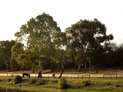 Pastoral Scene on the Torrens (mikecogh) Tags: horses green peaceful gumtree fulham riverbanks linearpark rivertorrens agistment