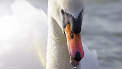 Djole (Katarina Drezga) Tags: lake bird birds animals swan outdoor birding swans birdsphotography nikond3100 nikkor55300mm4556gvr