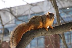 Squirrels in Ann Arbor at the University of Michigan (February 11, 2016) (cseeman) Tags: winter snow animal campus squirrels nest eating snowy michigan annarbor peanut cavity acorns universityofmichigan knothole squirrelnest cavitynest treecavity squirrelcondo knotholehouse februaryumsquirrel squirrelcavitynest umsquirrels02112016 umsquirrelcondo02112016