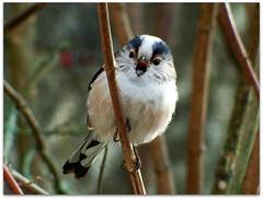 LTT Calling to his mates! (macfudge1UK) Tags: uk greatbritain winter england bird nature fauna europe wildlife gb s1 oxfordshire avian oxon longtailedtit aegithaloscaudatus 2016 britishbirds finepixs1 fujis1 britishbird allrightsreserved goldwildlife bbcwinterwatch rspbgreenstatus fujifilmfinepixs1 fujifinepixs1