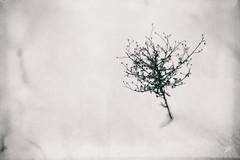 dreaming of the past (alicebutenko) Tags: winter bw white snow black flower tree little memories atmosphere dry lonely lovely melancholy fragile pathetic meditative feelingsemotions